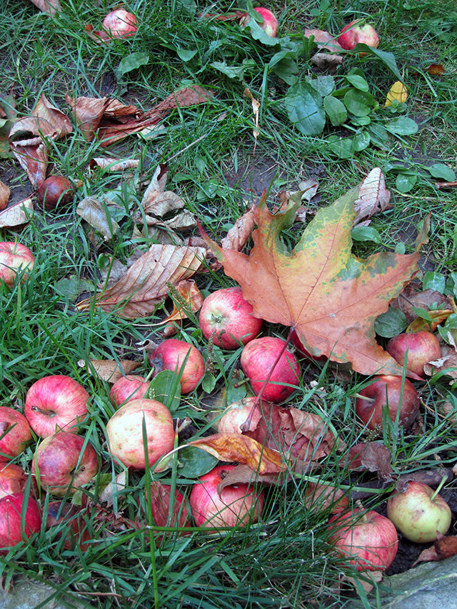 Fall is the start of apple season, and you might even find a few on campus. (Laura Lehman/Ryersonian Staff)