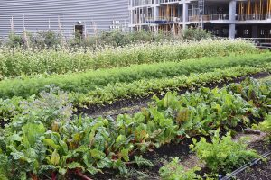 Views from the farm: Tour Ryerson's rooftop garden