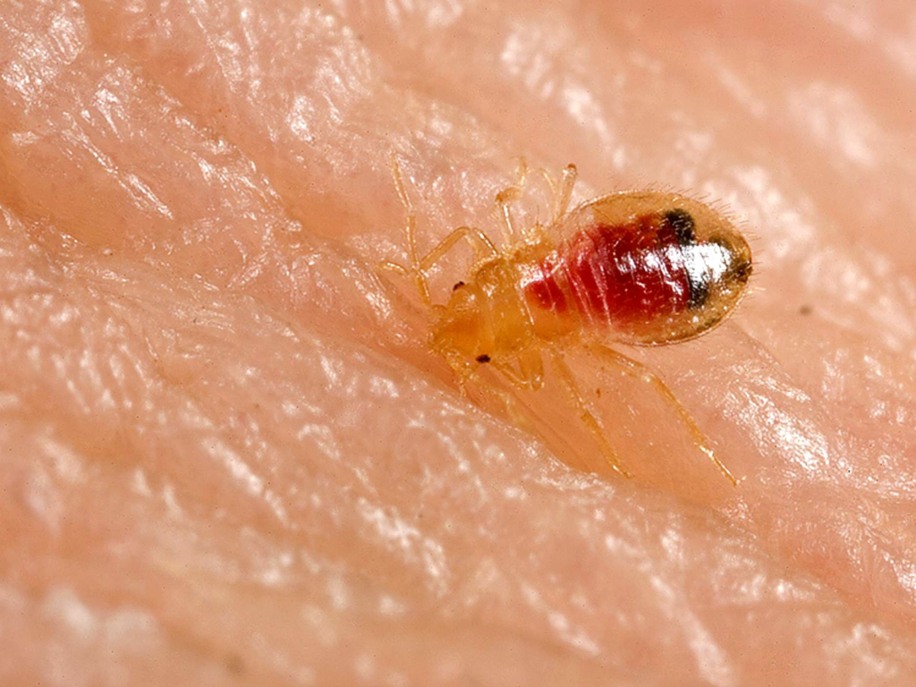 a close-up shot of a bed bug on skin
